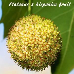 Platanus x hispanica platane commun ou platane - Fruit du murier platane ...