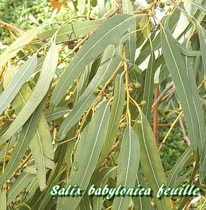 Salix babylonica saule pleureur - Plante longue feuille pointue ...