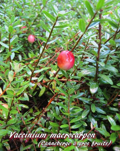 cranberry fruit voir propriétés
