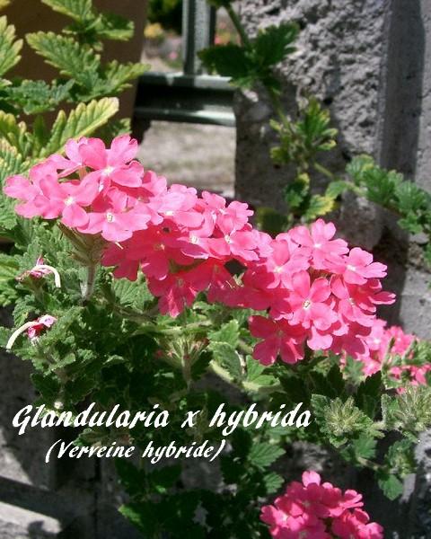 espèce hybride végétale