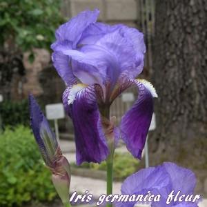 iris stériles a feuilles persistantes Fleur